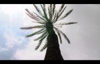 Parques y Jardines tala desde esta noche las palmeras enfermas de la avenida Blas Infante