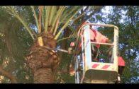 La Delegación de Parques y Jardines continúa con su plan de poda de palmeras en la avenida 28 de febrero