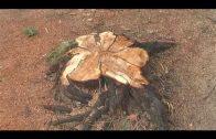 Parques y Jardines informa que en Las Acacias se están talando árboles enfermos
