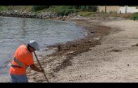 Operarios de limpieza de playas retiran las algas aparecidas en El Chinarral