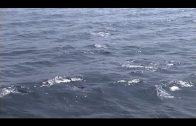 Verdemar critica el elevado número de embarcaciones para avistar delfines en la Bahía de Algeciras