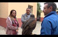 Sueltan halcones para combatir la presencia de palomas y gaviotas en el CEIP Puerta del Mar