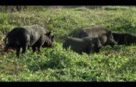 Unos 40 ejemplares de cerdos vietnamitas sin dueño, campan por los alrededores de Los Pastores