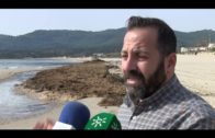 El ayuntamiento va a comenzar la retirada de algas invasoras de la playa