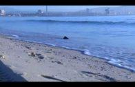 Aparecen peces muertos en la playa del Rinconcillo por un fenómeno natural