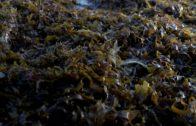 Diputación colabora con Laboratorio de Biología Marina de La Línea en una investigación sobre alga invasora