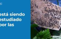 Los tratamientos contra la lagarta peluda en el Campo de Gibraltar comienzan la semana que viene