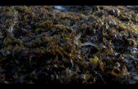 Junta insta al Gobierno a agilizar la declaración de Rugulopterix Okamurae como especie invasora