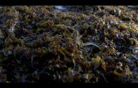 Landaluce pide a la ministra una reunión con los municipios afectados por el alga invasora