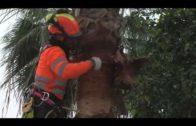 El Ayuntamiento realiza tareas de mantenimiento y poda de las palmeras de la ciudad