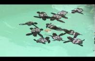 47 crías de tortugas boba se encuentran en el Cegma de Algeciras