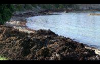 Junta pide «urgencia» al Gobierno en declarar la Rugulopterix alga invasora