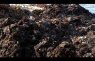 Investigadores del Ifapa iniciarán en abril la validación del alga asiática como compostaje