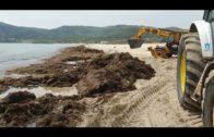 El Ayuntamiento retira más de 20 toneladas de algas en la playa de Getares