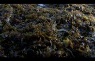 Dos drones y una embarcación no tripulada se incorporan a la lucha contra el alga invasora